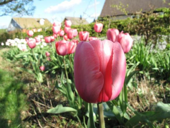 13 maj tulpaner rosenrabatt
