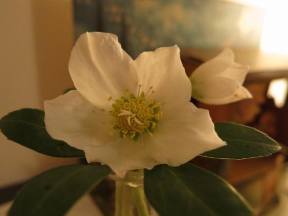 julros helleborus niger 2