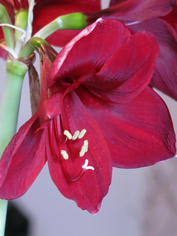 amaryllis Carmen 3