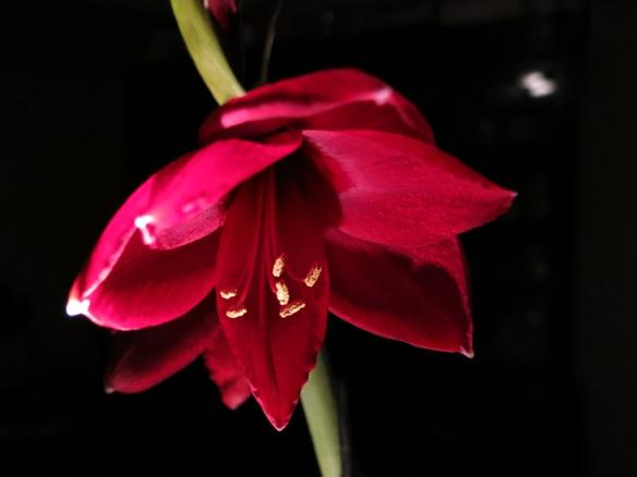 amaryllis Carmen