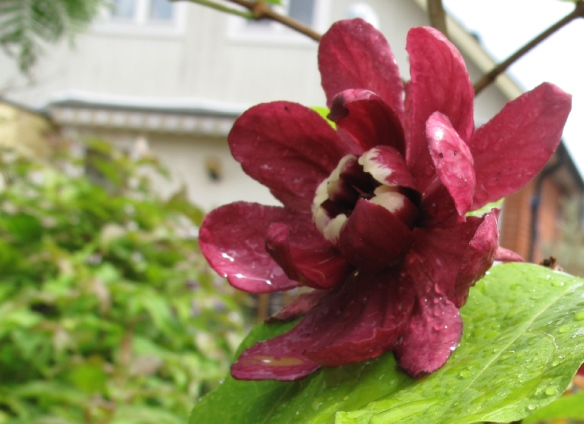 Calycanthus raulstonii 'Hartgage wine' 7