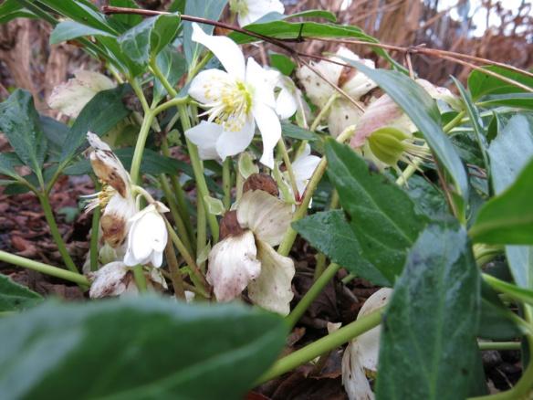 julros helleborus niger 1
