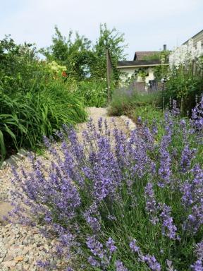 Lavendel 14 juli