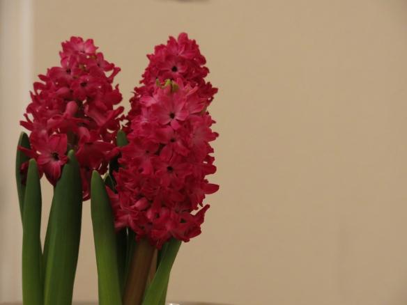 skär hyacint 1