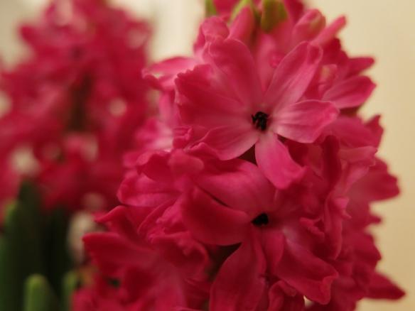 skär hyacint 3