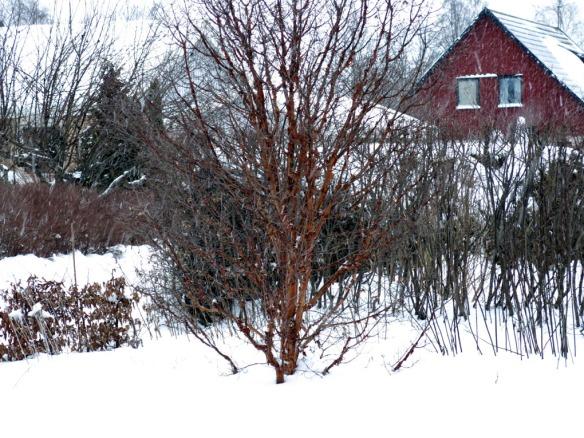 snö 30 jan kopparlönn
