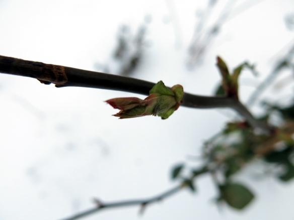 snö rosenskott