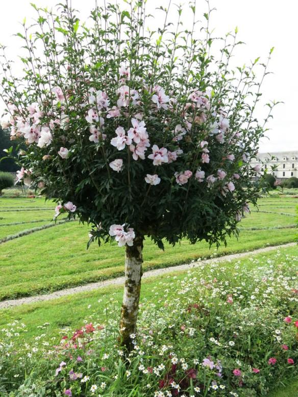 hibiscus frankrike 2