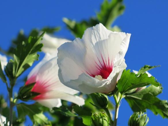 hibiscus frankrike