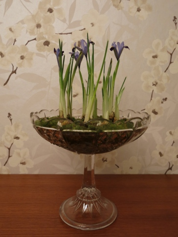Iris reticulata 'Gordon' 1