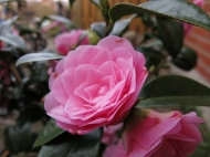 Kamelia Camellia x williamsii 'Water Lily'