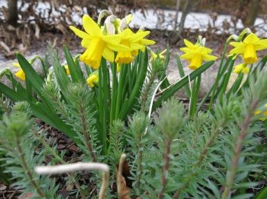 Linnaria och minipåsklilja