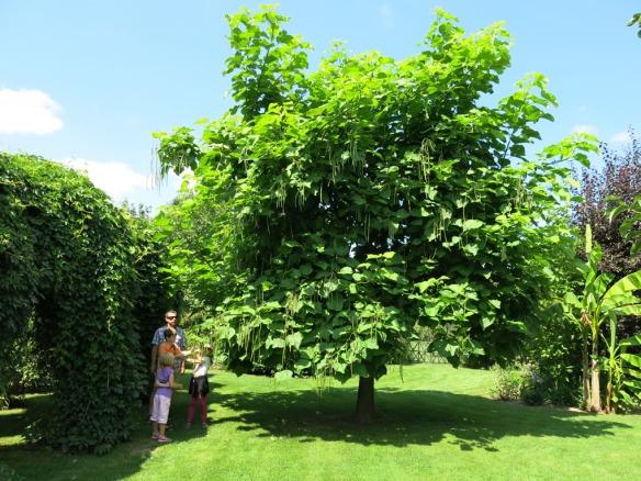 Fransk trädgård 10 catalpa
