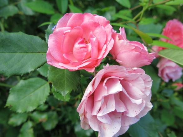 fransk trädgård 21 Natalie ros