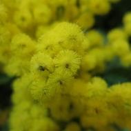 Mimosa, Apotekarns trädgård, Kivik