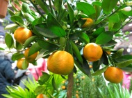 Apelsiner, Apotekarns trädgård, Kivik