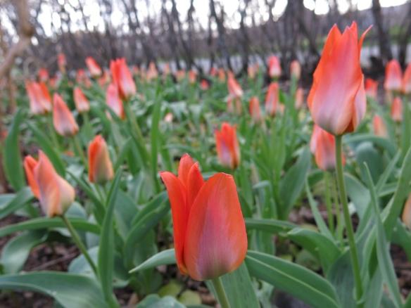 13 april 14 tulpan Orange Toronto