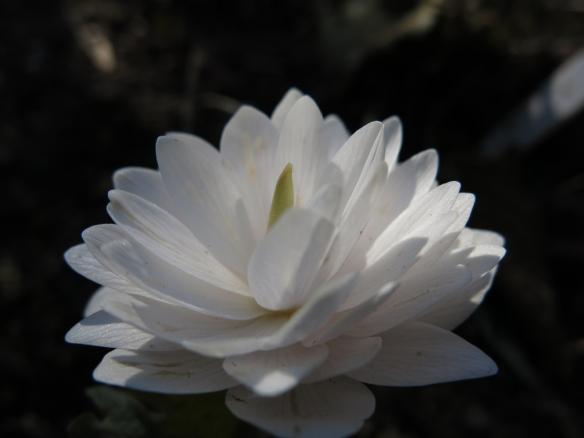 Växter från vitaste vitt till nästan svart