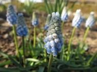 ljusblå pärlhyacint 'Peppermint'