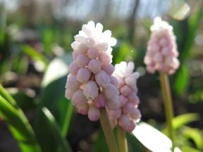 19 april 14 rosa pärlhyacint