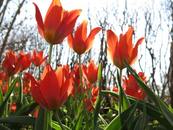 19 april 14 tulpan orange toronto