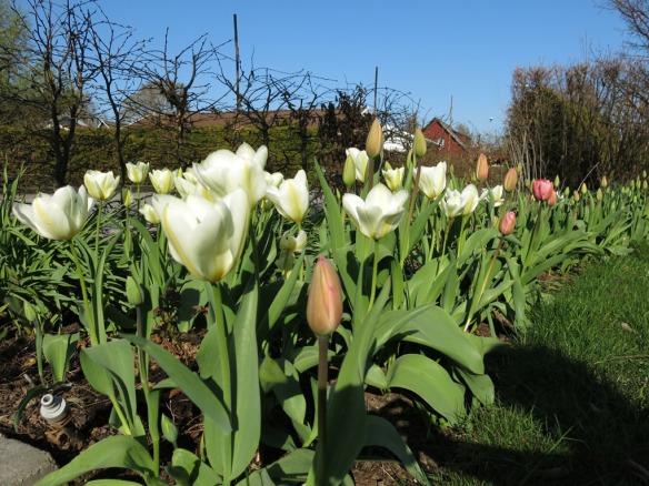 19 april 14 tulpaner rosenrabatten