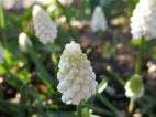 Vit pärlhyacint 'White magic'