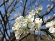 24 april 14 plommonträd blommor