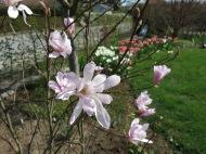 24 april 14 rosa stjärnmagnolia Rosea