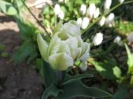 Rosa 'Angelique' är vitgrön i början