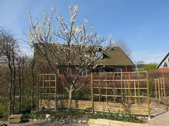 April 2014. Plommonträdet blommar och tulpanerna i Skära rabatten är på väg upp.