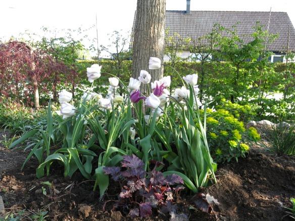 28 april 14 tulpan maytime shirley 1