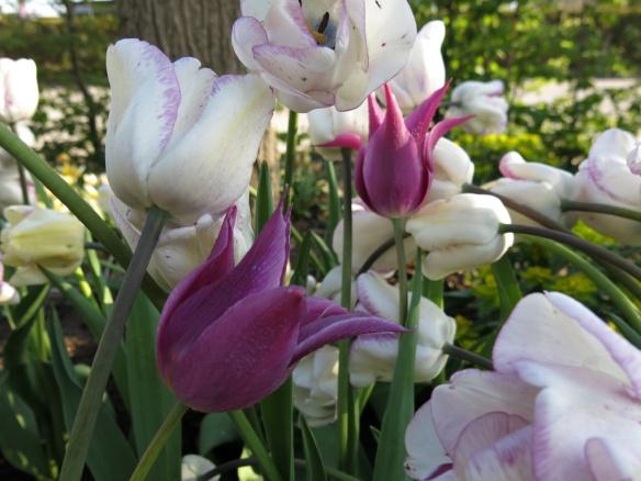 28 april 14 tulpan maytime shirley 2