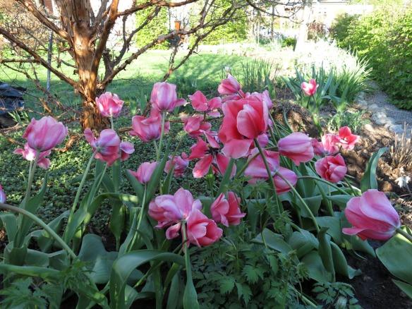 28 april 14 tulpan pink impression