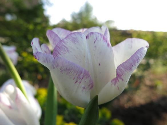 28 april 14 tulpan shirley