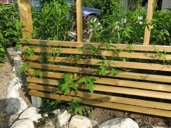 10 juni 14 Skära rabatten klematis albiflora