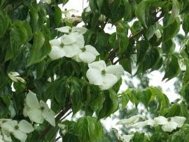 Blomsterkornell