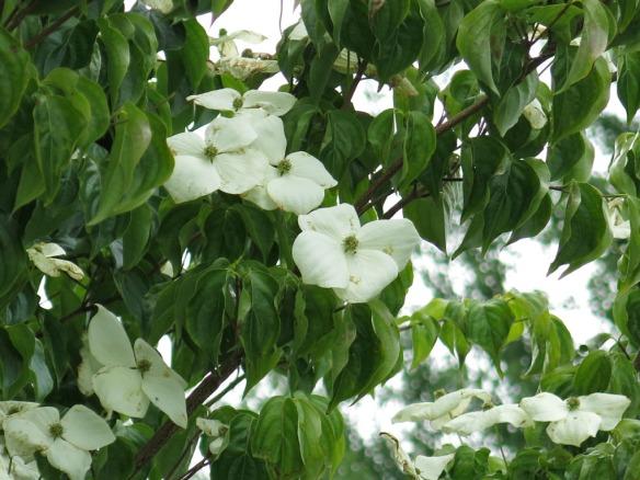 18 juni 14 blomsterkornell 1