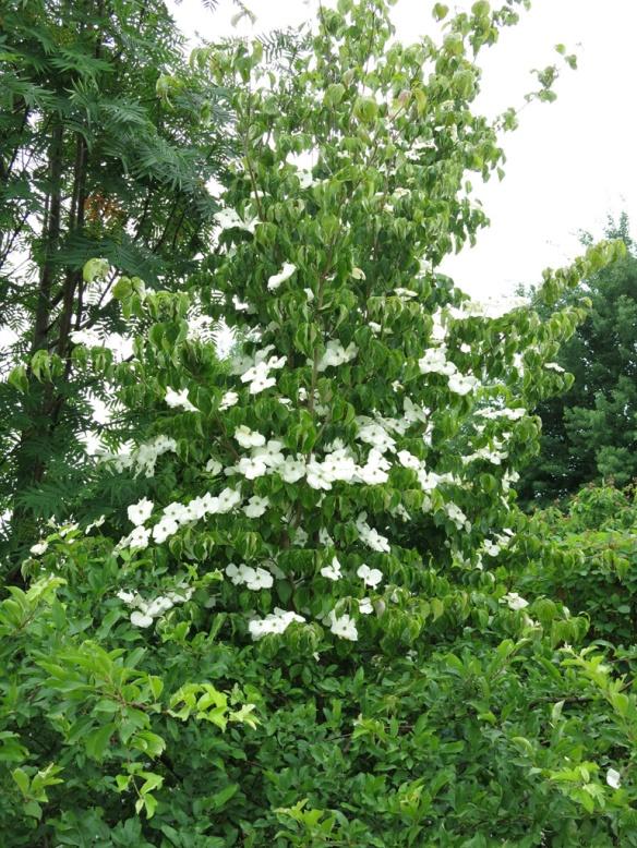 18 juni 14 blomsterkornell 2