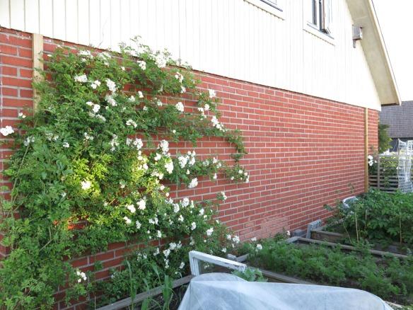 18 juni 14 trädgårdslandet honungsros