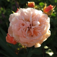 22 juni 14 magnoliarabatt austinros