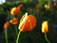 Perenn orange vallmo