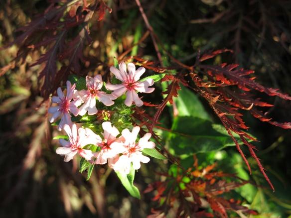 22 juni 14 magnoliarabatten lönn rosa studentnejlika