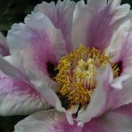 23 maj 14 Carinas trädgård buskpion