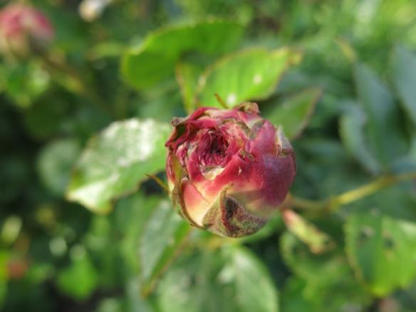 31 maj 14 Eden rose
