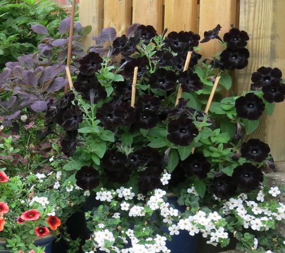 22 juli 13 svart petunia