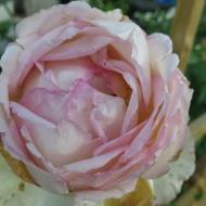9 juli 2014 skär rabatt eden rose