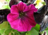 petunia sådd 1