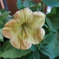 petunia sådd 4