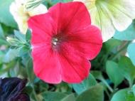 petunia sådd 5